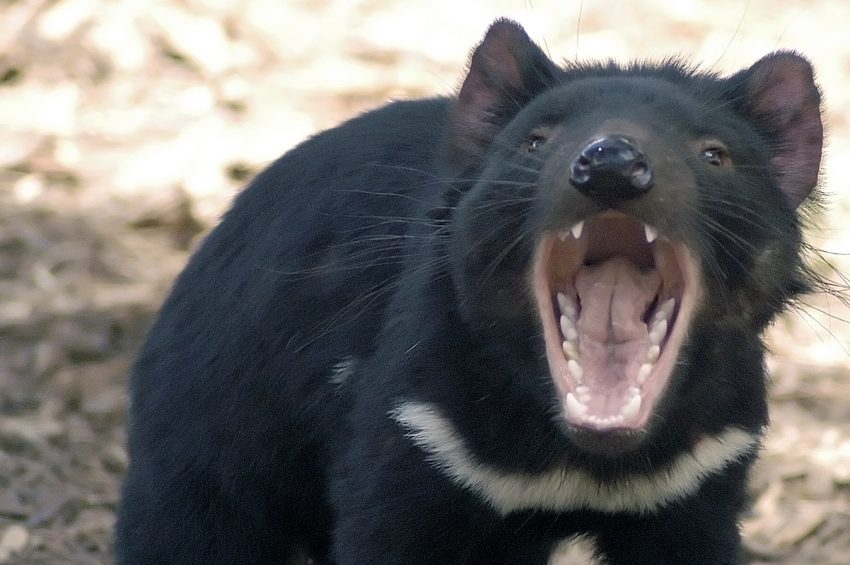 Photo of Tasman devil baring its teeth